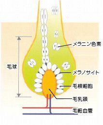 メラノサイトの構造