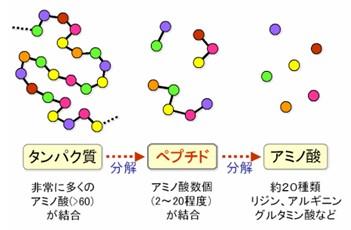 出典:http://www.foodpeptide.com/